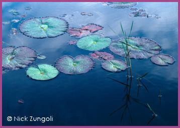 Nick Zungoli Waterlilies