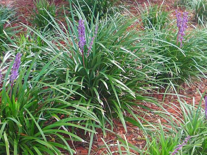Buy A Giant Liriope In San Antonio Wilson Landscape Nursery