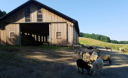 Sheep in front of a barn