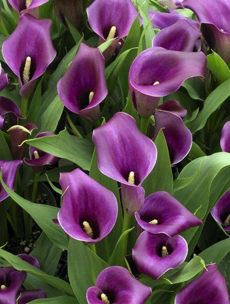 purple lily flower plant - photo #49