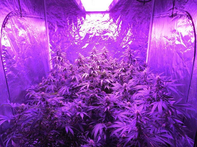 Bossled Dominator 600w Cob Led Grow Light Full Spectrum