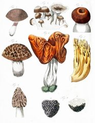 False Morels and Truffles Postcard