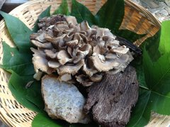 Maitake, Hen of the Woods - (Grifola frondosa) - 5lb