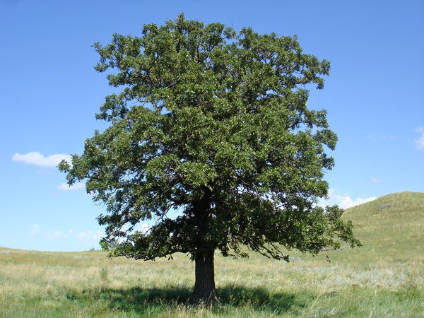 Black Oak Tree ~ Quercus velutina black oak long island native plant