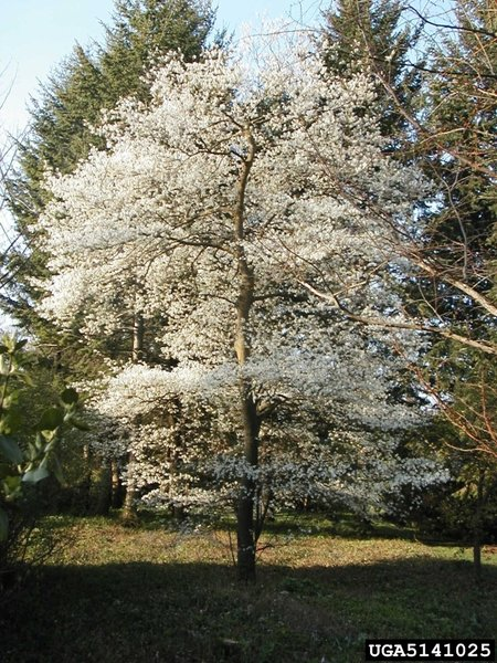 Amelanchier Canadensis Canadian Serviceberry Long