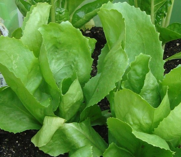 Escarole (Lettuce) Seeds - Batavian Full Heart | OHIO ...