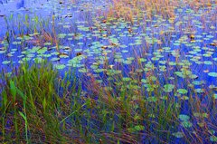 "Ilene Adams,Waterlily Field, Photography, 27"" x 39"" Framed"