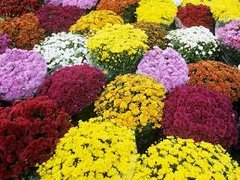 Decorated Fall Garden Mums