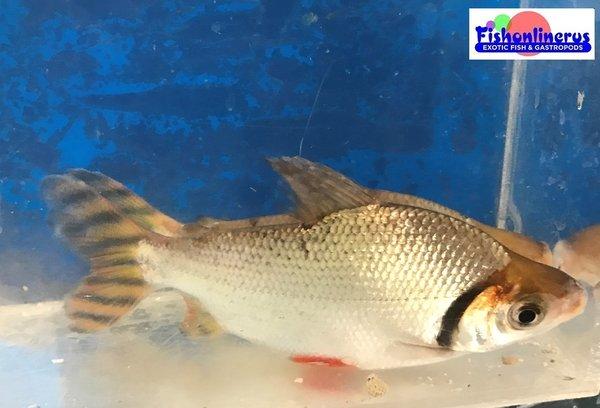 6 5 red fin prochilodus fish live freshwater fish wild Freshwater fish with red fins