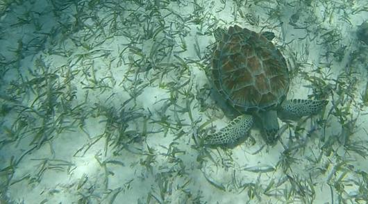 A green sea turtle grazes on sea grass out at the Belize barrier reef. Belize Adventure Tours