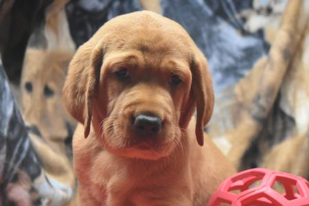 fox red lab puppy for sale