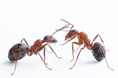 Ant control Chesapeake Virginia