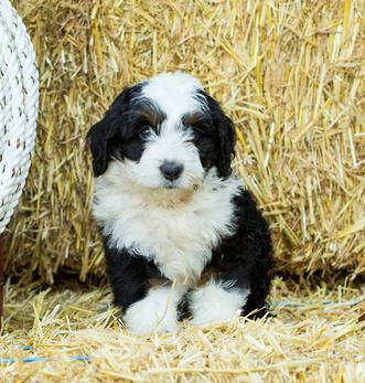 Tricolor Tiny Bernedoodle Puppy