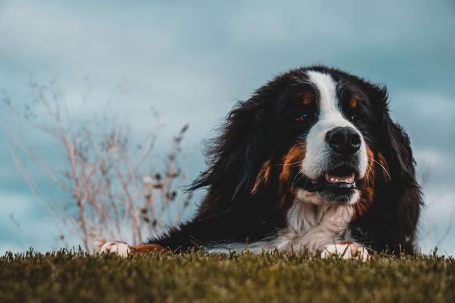 Why Buy a Bernese Mountain Dog