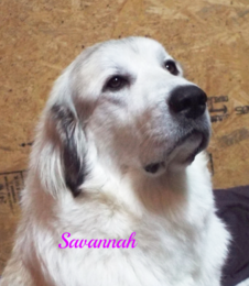 Savannah Wells Providence Great Pyrenees
