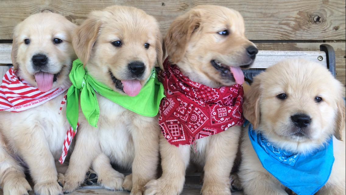 Golden Retriever Puppies For Sale, Golden Retriever Dogs