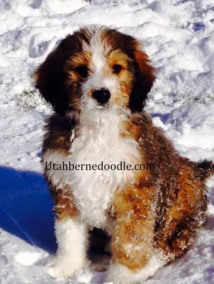 Sable Bernedoodle Puppies For Sale