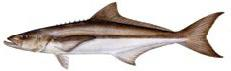An illustration of a Cobia that you will catch near Tampa Bay