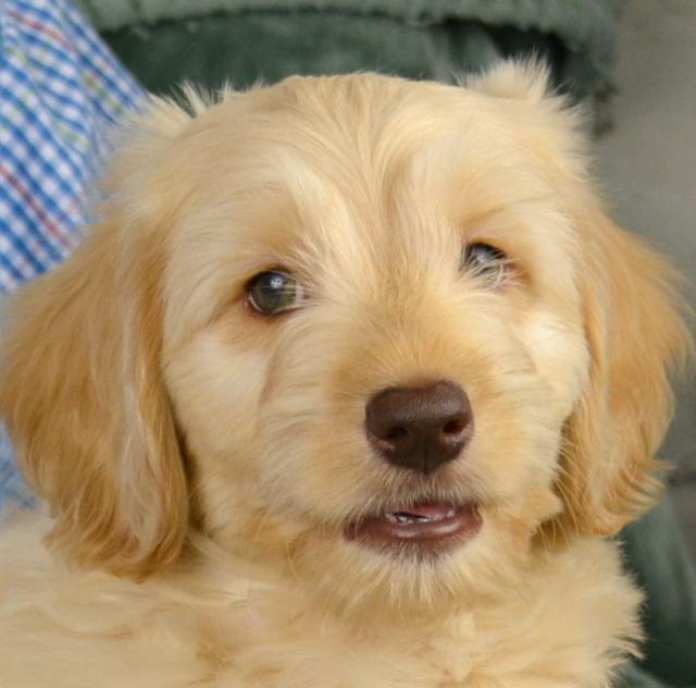 Labradoodle Puppies - Green Gables Labradoodles