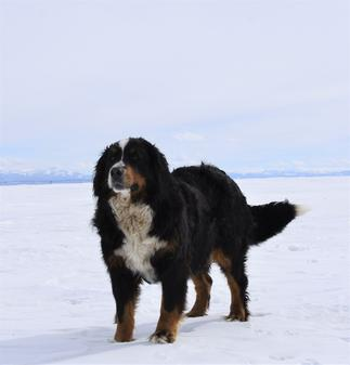 Lulu Tricolor Bernese in Snow