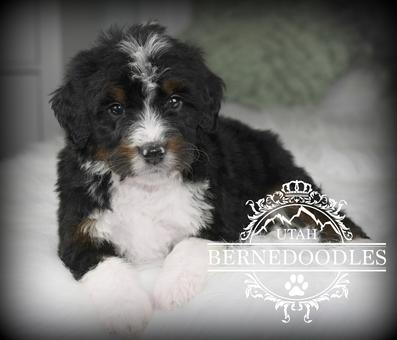 Trained Bernedoodle