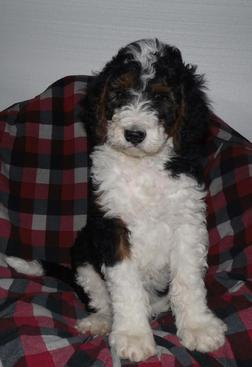 F1B Standard Bernedoodle Puppy