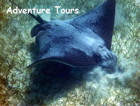 A spotted eagle ray hunts in the sand at the Belize barrier reef. Belize Adventure Tours