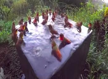Magical Scene: Hummingbird Pool Party!