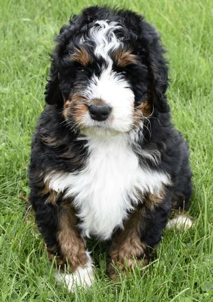 Tricolor Bernedoodle Puppies Available