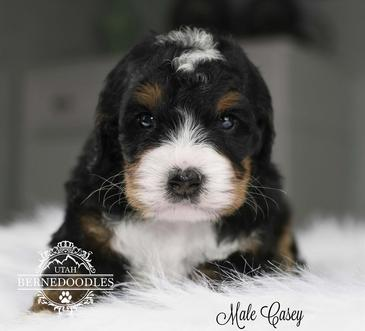 tricolor tiny bernedoodle