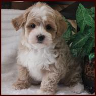 Rolling Meadows Puppies Maltipoo Puppy