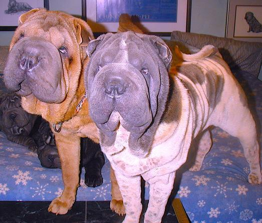 Beaux Art Chinese Shar Pei Breeders Of Akc Standard Size Miniature Shar Pei Exceptional Chinese Shar Pei Puppies