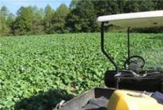 Brassica Food plots