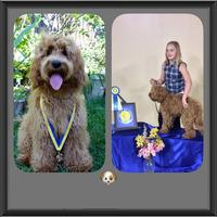 Red Labradoodle Puppy with medal from Puppy Training