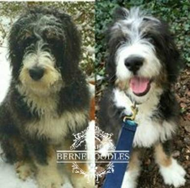 What Is The Bernedoodle Coat Like