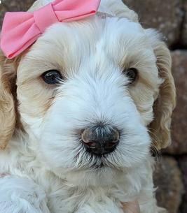 Australian Labradoodle Puppies For Sale Arizona - Crawford