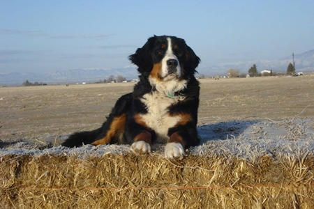 Bernese Mountain Dog Utah Bernedoodles