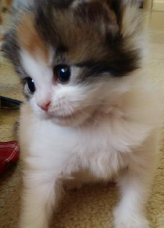 Kittens For Adoption - Webecoons Maine Coon Cats
