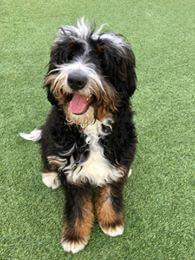 friendly Bernedoodle