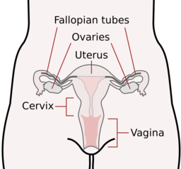 Paul Curtis Female Body Diagram Gynaecologist