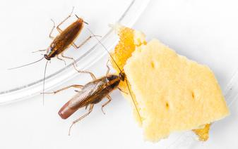 German Cockroach eating cheese