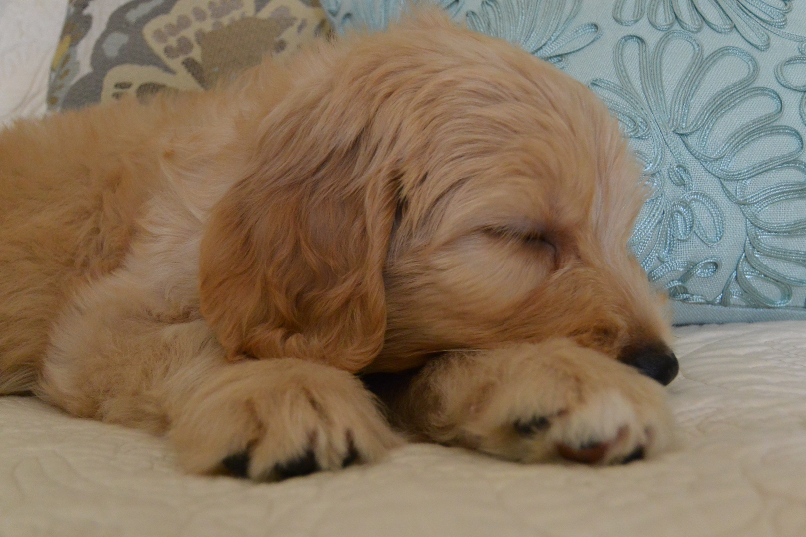 Labradoodle Puppies For Sale - Brookside Labradoodles