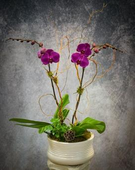 Beautiful double stemmed purple phalaenopsis orchid plant with green ivy, curly willow branches and lotus pods.