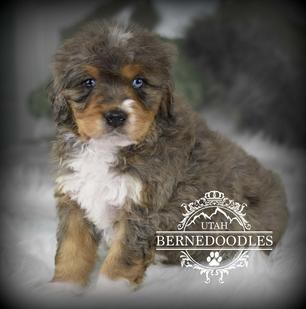Tricolor Merle Bernedoodle