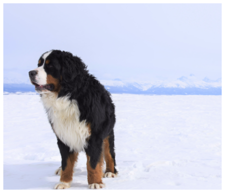 Bernese Mountain Dog in Snow