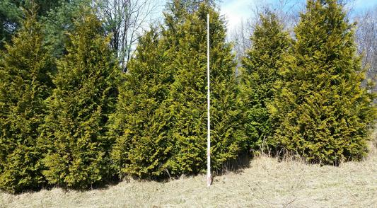 Thuja Occidentalis Techny