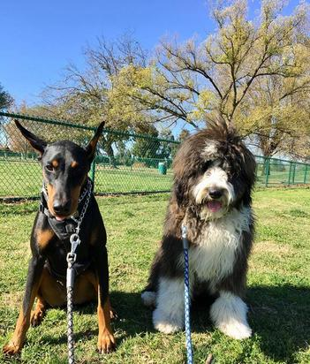 bernedoodle and doberman
