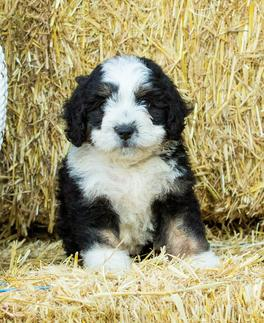 F1B Mini Bernedoodle Puppy
