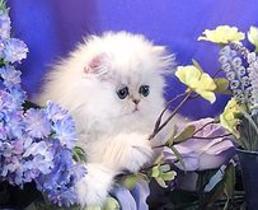 teacup-tiny-miniature-pixie-sized-silver-persians