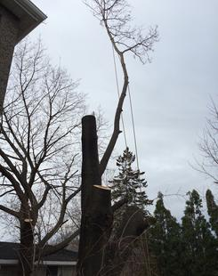 large tree about to be felled, Tree Removal Grimsby Ontario